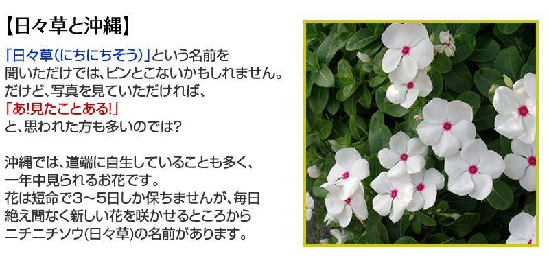 【沖縄と日々草】